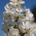 Biene an Kirschblüten